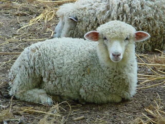 domaća-ovca Pramenka