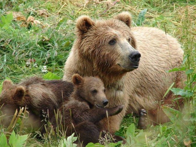 Medvjedi u Sloveniji