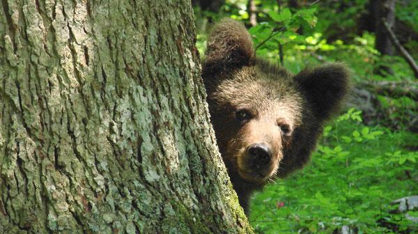 Medvjed Ursus arctos - bosniensis